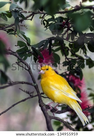 The yellow Canary, (Serinus canaria domestica)