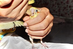 The yellow cockatiel birds are hungry and are about to be fed in Syringe