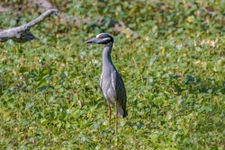 The yellow-crowned night heron, is one of two species of night herons found in the Americas, the other one being the black-crowned night heron.