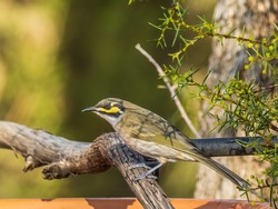 The Yellow-faced Honeyeater (Lichenostomus chrysops) is a medium-small, greyish-brown bird that takes its common name from distinctive yellow stripes on the sides of the head.