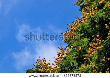 The Yellow flametree (yellow Poinciana, yellow-flame, yellow-flamboyant or copperpod ) and the blue sky in Autumn.  Peltophorum pterocarpum is native to tropical southeastern Asia  and  Australasia. #629678573