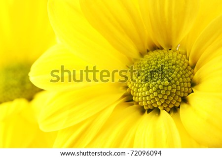 The yellow flower on a white background, is isolated.