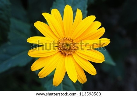 The yellow flower Sunflower plant Heliopsis lat Heliopsis helianthoides.