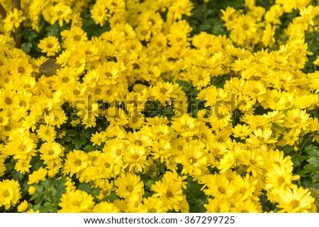the yellow Flowers -Background with the Flowers  #367299725