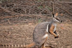 the yellow footed rock wallaby matches in with his surroundings