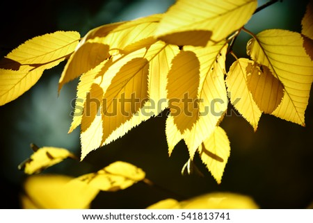 The yellow leaves of yellow birch in autumn in the backlight / Autumn leaves yellow birch   #541813741
