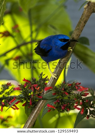 The Yellow-legged Honeycreeper is also commonly known as the Purple Sugarbird or the Purple Honeycreeper.