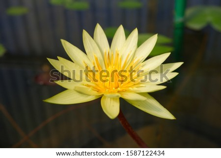 The yellow lotus is called banana waterlily, Mexican waterlily and yellow waterlily. Nymphaea mexicana Zucc is a member of Nymphaeaceae.