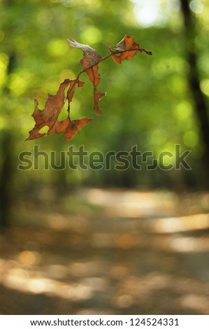 The yellow oak weather-beaten leaf falls down swirled round by the wind in autumn forest. Leaf texture. Oak leaf. Falling leaf on the autumn background.