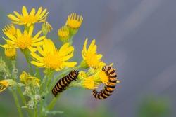 The yellow-orange and black striped caterpillars of the Cinnabar Moth, Tyria jacobaeae, feeding on the yellow flowers of the common ragwort plant Senecio jacobaea