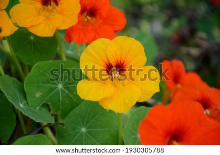 the yellow orange nasturtium flowers with vine and green leaves in the garden. Imagine de stoc ©