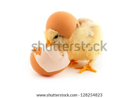 The yellow small chicks with egg isolated on a white background
