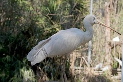 the yellow spoonbill is a large white seabird with a beaked shaped as a spoon