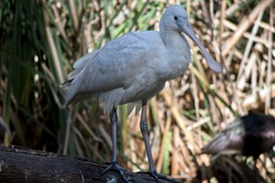 the yellow spoonbill is a tall white bird with a beak that resembles a spoon