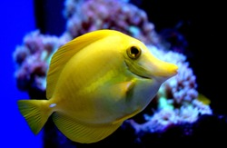 The yellow tang(Zebrasoma flavescens)is a saltwater fish of the family Acanthuridae.It is one of  popular aquarium fish.Yellow tangs can be bred and raised commercially but are mostly harvested wild.