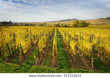 The yellow vines in the vicinity of St. Hippolyte in the fall, Alsace, France #357213614
