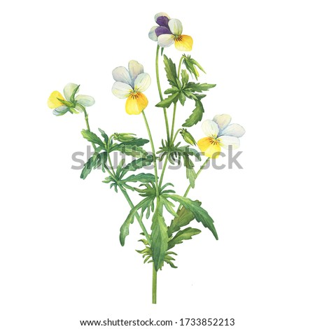 The yellow wild pansy flower (Viola tricolor, Viola arvensis, heartsease, Johnny Jump up, kiss-me-quick) Hand drawn botanical watercolor painting illustration isolated on white background Stockfoto ©