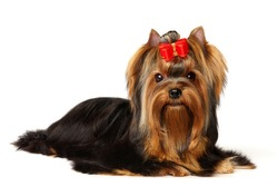 The Yorkshire Terrier isolated on the white background