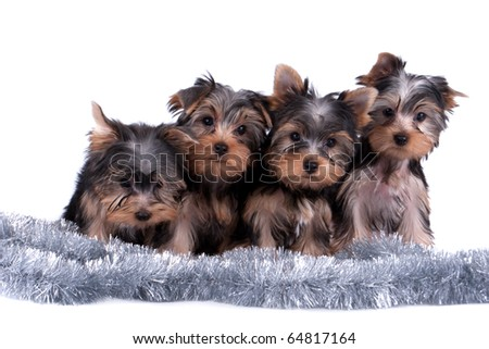 The Yorkshire terrier puppy on white background