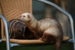 The young brisk animal ferret, sits next to a clay amphora on a wicker chair in the cottage outside the premises in the summer