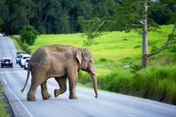 The young elephant crossing the road to enter the lush forest at Khao Yai National Park