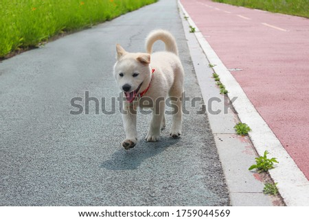 The young Jindo dog is enjoying a walk. running Jindo dog. Jindo dogs are the representative dogs in Korea.a dog with a raised tail