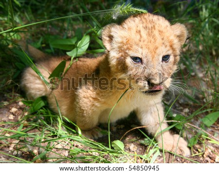 The young lion hides in a grass