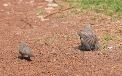 The zebra dove also known as barred ground dove, is a bird of the dove family, Columbidae, native to Southeast Asia.
