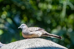 The zebra dove (Geopelia striata)  is a bird of the dove family, Columbidae, native to Southeast Asia. They are small birds with a long tail. They are predominantly brownish-grey in colour.