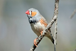 the zebra finch is a colorful bird, it has orange cheeks and bill, grey head, brown with white spots and white bottom.