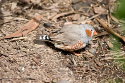 the zebra finch is a colorful bird with an orange beak, grey feather, with brown and white spots and an orange cheek