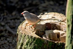 the zebra finch is a grey and white small bird with a red beak and black and white tail