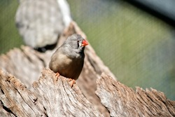 the zebra finch is a small bird with an orange beak and claws