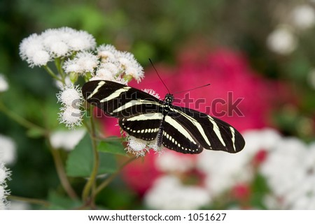 The Zebra Longwing (Heliconius charitonius) is the state butterfly of Florida