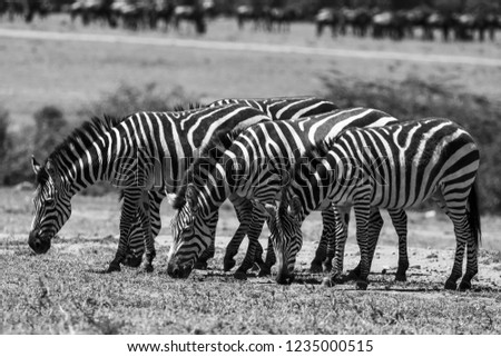The Zebra Stripes #1235000515