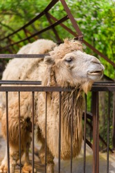 The zoo. Portrait of a smiling camel. Animal head close-up.