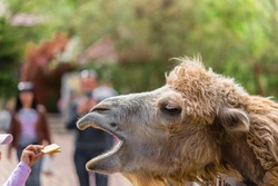 The zoo. Portrait of a smiling camel. Animal head close-up. zoo visitors feed the camel, girls hand