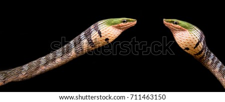 Thelotornis Kirtlandii The twig snakes (genus Thelotornis), also commonly known as bird snakes or vine snakes, are a genus of rear-fanged snakes in the family Colubridae, native to Africa.