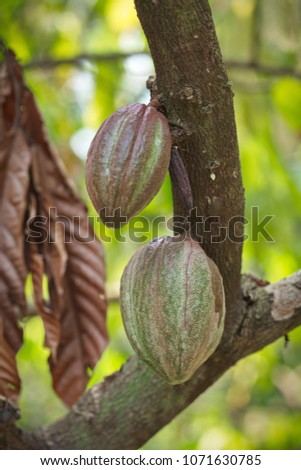 Shutterstock Theobroma cacao - the taxonomic classification for the plant also called the cacao tree and the cocoa tree