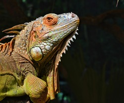 """There are a number of different lizards referred to as """"Iguanas."""" When most people think of an Iguana, they picture the green Iguana, which is one of two species in the genus Iguana. The other species"""