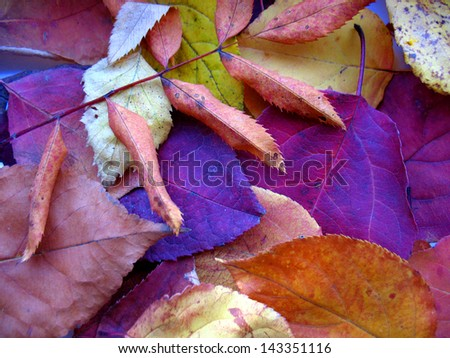 There are  autumn leaves of different colors. Closeup