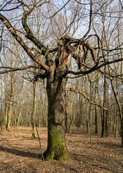 There are broken trees in an old abandoned Park. The wind pulled out trees by the roots out of the ground. Broken tree branches. Demonic, mystical strange and scary place. Pruning old and broken trees