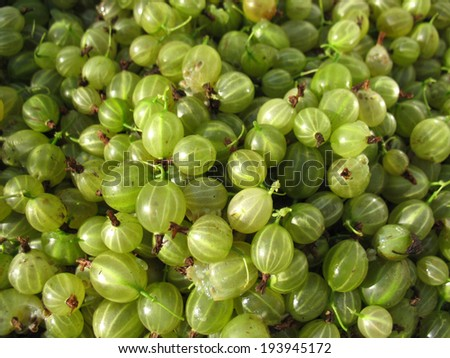 There are green berries of gooseberries. Closeup