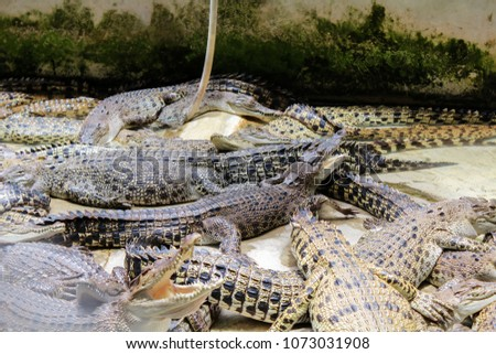 There are many crocodiles in the crocodile cattery. Some crocodiles with open mouths.