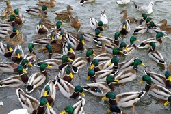 There are many ducks on the lake in winter. Feeding the birds. Most drakes. Several seagulls are swimming