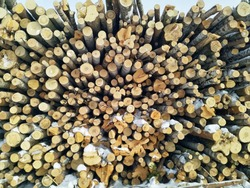 There are many trunks of cut trees of different thickness.