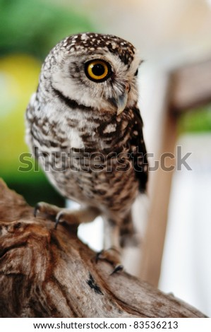 There are 13 recognized races of Little owl spread across Europe and Asia. The Little Owl was sacred to the goddess Athena, from whom it gets the generic name