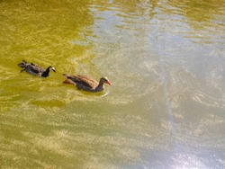 There are two ducks on the green water of the lake, and a glittering reflection of the sun.