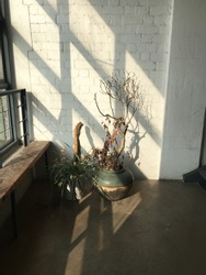 There are two plants that are place right beside the windows, where sunlight shine through it and cast shadow of these two plants on the white brick wall.