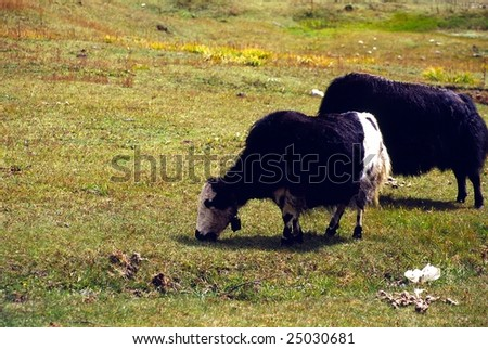 There are 2 yaks in the meadows. it is in Tibet of China.